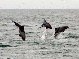 Heaviside Dolphins